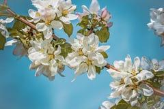 Vita delikata blommor av äppleträdet Tonat foto Royaltyfri Foto