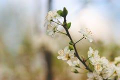 Vita delikata blommor av körsbäret på grön filial arkivfoto