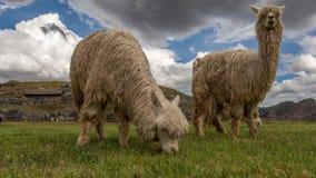 Vita dell'alpaca Fotografia Stock