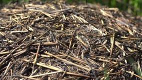 Vita della collina della formica ad un giorno soleggiato video d archivio