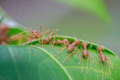 Vita della formica Fotografie Stock Libere da Diritti