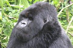 Vita della gorilla nella foresta   Fotografia Stock