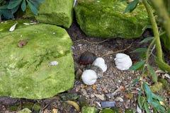 Vita della pernice nel giardino Le pernici camminano sull'erba fra la natura I piccoli uccelli della pernice fanno un nido per gl fotografie stock libere da diritti