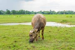 Vita delle Buffalo Fotografia Stock Libera da Diritti