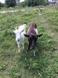 Vita delle capre, del gatto e del villaggio immagini stock libere da diritti