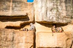 Vita delle scimmie Immagine Stock