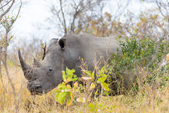 Vita det övre noshörningslutet och ståenden med detaljer av hornen, orsaken av att tjuvjaga och hotar Stor safari fem i den Nat K royaltyfri fotografi