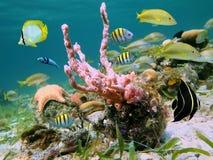 Vita di mare caraibica Immagini Stock Libere da Diritti