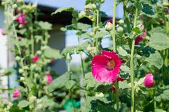 Vita di paese Flowerl l'ucraina fotografie stock