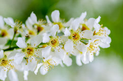 Vita doftande blommor av häggträdet Arkivbild