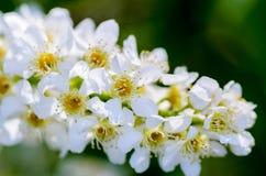 Vita doftande blommor av häggträdet Royaltyfria Foton