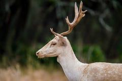 Vita dovhjortar stänger sig upp Arkivfoto