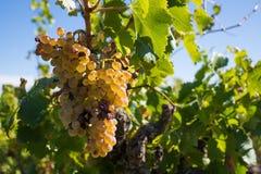 Vita druvor i en wineyard Arkivbild