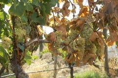 Vita druvor i vingårdar Royaltyfria Bilder