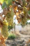 Vita druvor i vingårdar Arkivfoton
