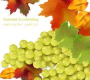 Vita druvor på vit bakgrund Realistisk illustration för säsongskördvektor Royaltyfria Bilder