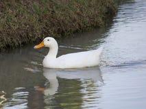 Vita Duck In The Water Arkivfoton