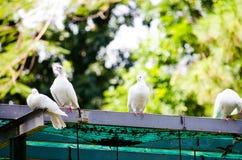 Vita duvor som sjunger i grön skog Royaltyfria Bilder