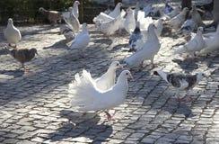 vita duvor Tre duvor på en grå förberedande sten Royaltyfria Bilder