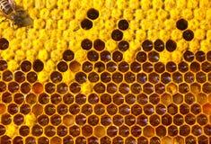 Vita e riproduzione degli api Fotografie Stock