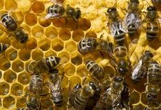 Vita e riproduzione degli api Fotografie Stock Libere da Diritti
