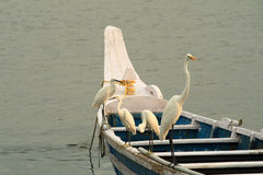 vita egrets royaltyfria bilder