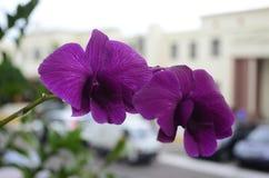 Vita eller purpurfärgade orkidér royaltyfri foto
