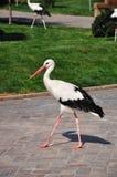 vita enkla storks Arkivfoto