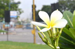 vita färgblommor royaltyfria foton