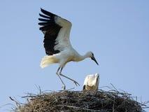 vita fågelungestorks Arkivbild