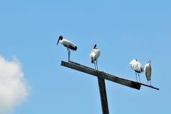 Vita fåglar för Wood stork överst av en pol i våtmark Arkivfoto