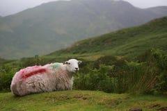 Vita får i sjöområdesbygden som ner sitter Royaltyfri Foto