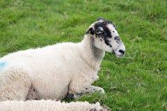 Vita får med blåttmålarfärgfläckar arkivbilder