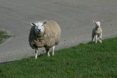 Vita får med ett vitt lamm Arkivfoton