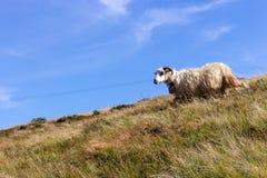 Vita får med horn som betar på sommarkullar mot blå himmel Vitt lamm som kör, i sparat Beta bakgrund arkivbild