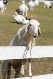 Vita får som betar i fältlantgård Royaltyfria Bilder