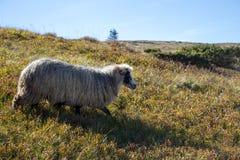 Vita får som betar på sommarkullar Vitt lamm som kör, i sparat Beta bakgrund fotografering för bildbyråer