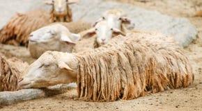 Vita får som sover det stängda ögat med den våta kroppen, når att ha regnat, avkopplad tid arkivbild