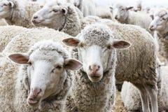 Vita får som tillsammans flockas royaltyfria foton