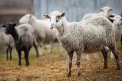 Vita får som tuggar hö idisslare klyva-traskade djur royaltyfria bilder
