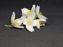 Vita fantastiska blommande jasminblommor arkivfoto