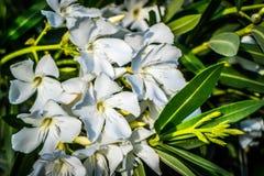 Vita Fawn Lilies i Yuma, Arizona arkivfoton