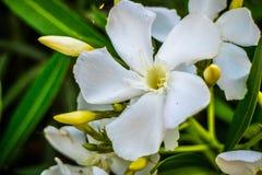 Vita Fawn Lilies i Yuma, Arizona arkivbild