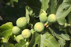 Vita fikonträd royaltyfri bild