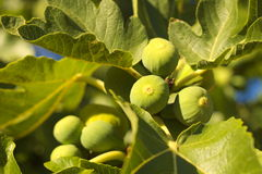 Vita fikonträd Royaltyfria Foton