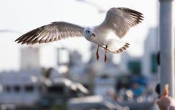 Vita fiskmåsar som flyger för att äta förestående turisten Royaltyfri Foto