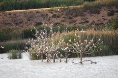 Vita fiskmåsar som sätta sig på tre träd, ivars och vila sana, lleida fotografering för bildbyråer
