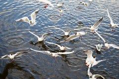 Vita fiskmåsar som svänger på det mörka vattnet för flod Arkivfoto