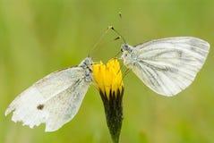 vita fjärilar Arkivfoton