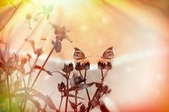 Vita fjärilar på torra gula blommor arkivfoto